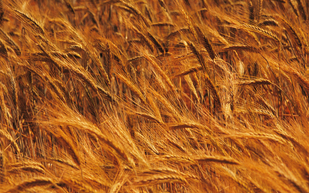 new-strain-of-wheat