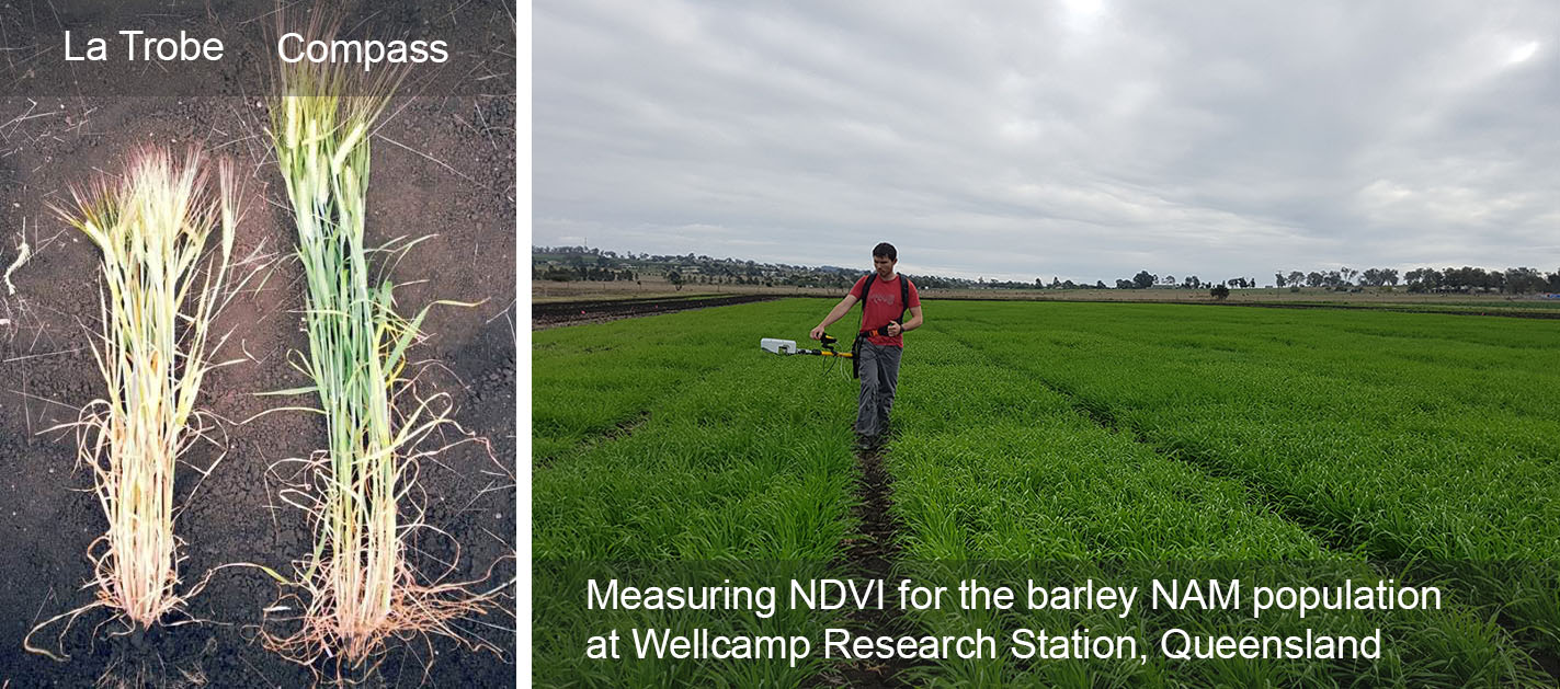 La Trobe and Compass barley, Measuring NDVI for the barley NAM population at Wellcamp Research Station, Queensland