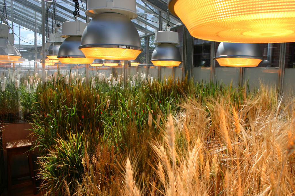Wheat-grown-under-controlled-environment