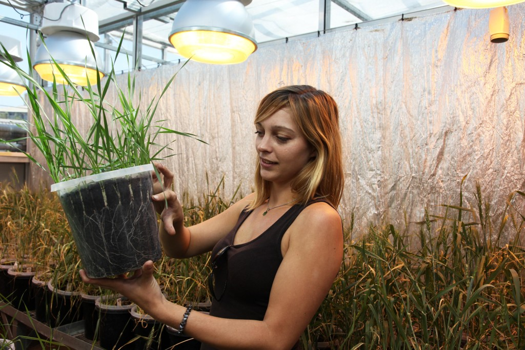 method-measuring-root-traits-in-wheat